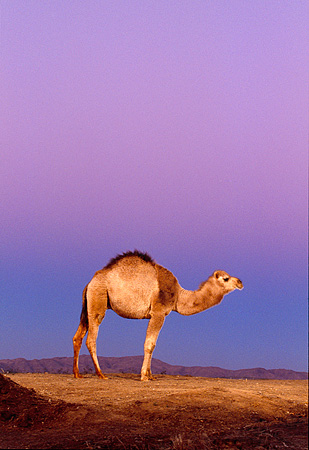 MAM 04 RK0031 03 © Kimball Stock Profile Of Dromedary Camel Standing On Dirt Purple Sky Background