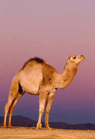 MAM 04 RK0031 18 © Kimball Stock Profile Of Dromedary Camel Standing On Dirt Purple Sky Background
