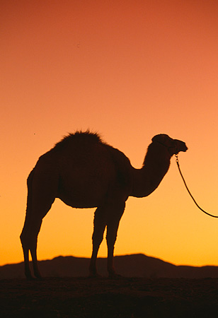 MAM 04 RK0034 33 © Kimball Stock Silhouette Profile Dromedary Camel On Lead Standing Sunset Background