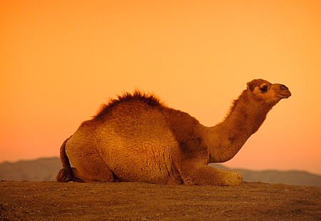 MAM 04 RK0040 01 © Kimball Stock Profile Of Dromedary Camel Sitting On Dirt Sunset Background