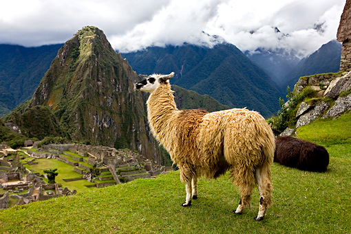 MAM 05 GL0001 01 © Kimball Stock Llama Standing On Grassy Cliff Above Machu Picchu Peru