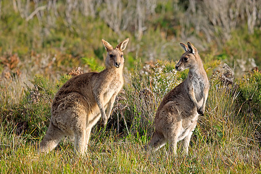 MAM 06 AC0013 01 © Kimball Stock Eastern Grey Kangaroos Standing In Grass In Victoria, Australia