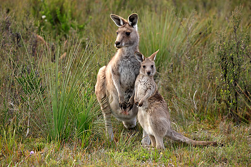 MAM 06 AC0015 01 © Kimball Stock Eastern Grey Kangaroo Mother Standing With Young Grass In Victoria, Australia