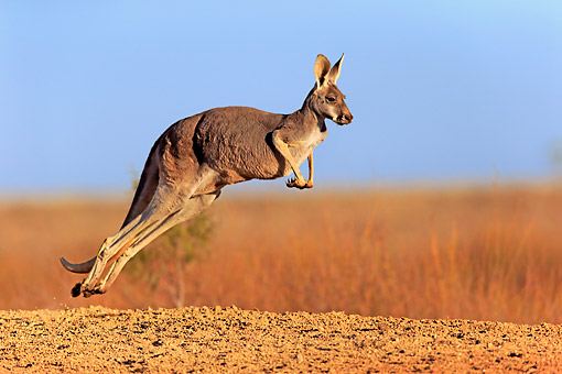 MAM 06 AC0016 01 © Kimball Stock Red Kangaroo Jumping In New South Wales, Australia
