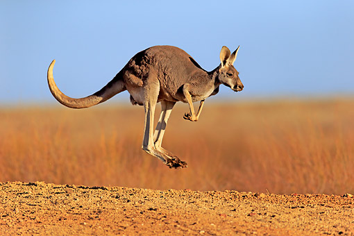 MAM 06 AC0017 01 © Kimball Stock Red Kangaroo Jumping In New South Wales, Australia