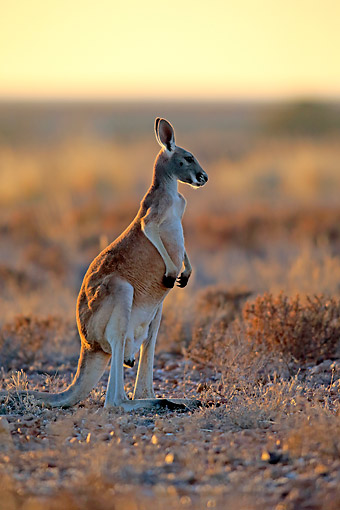MAM 06 AC0019 01 © Kimball Stock Red Kangaroo Standing In New South Wales, Australia