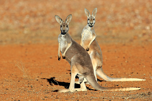MAM 06 AC0020 01 © Kimball Stock Red Kangaroo Females Standing In New South Wales, Australia