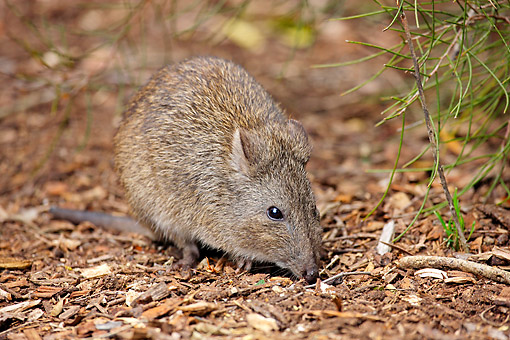 MAM 06 AC0021 01 © Kimball Stock Long-Nosed Potoroo (Also Called Rat-Kangaroo) Adult Foraging, South Australia
