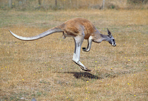 MAM 06 GL0001 01 © Kimball Stock Red Kangaroo Hopping On Plains