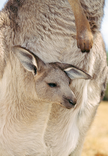 MAM 06 GL0002 01 © Kimball Stock Close-Up Of Eastern Grey Kangaroo Joey In Mother's Pouch