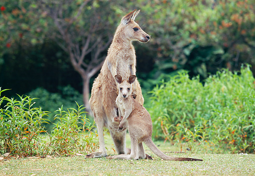 MAM 06 GL0003 01 © Kimball Stock Eastern Grey Kangaroo Standing On Grass With Joey