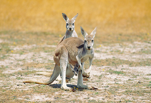 MAM 06 GL0004 01 © Kimball Stock Two Red Kangaroos And Joey Standing On Grass
