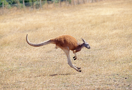 MAM 06 GL0005 01 © Kimball Stock Red Kangaroo Hopping Through Field