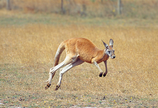 MAM 06 GL0006 01 © Kimball Stock Red Kangaroo Hopping Through Field