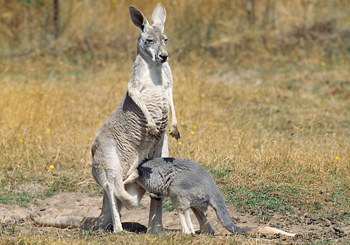 MAM 06 GL0007 01 © Kimball Stock Red Kangaroo Joey Sticking Head In Mother's Pouch