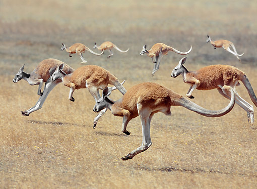 MAM 06 GL0008 01 © Kimball Stock Group Of Red Kangaroos Hopping Through Field