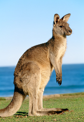 MAM 06 MH0002 01 © Kimball Stock Eastern Grey Kangaroo Standing On Grass By Water
