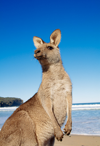 MAM 06 MH0003 01 © Kimball Stock Close-Up Of Eastern Grey Kangaroo Standing On Beach