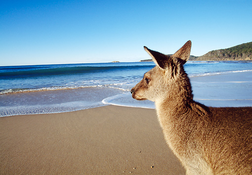 MAM 06 MH0004 01 © Kimball Stock Close-Up Of Eastern Grey Kangaroo Standing On Beach