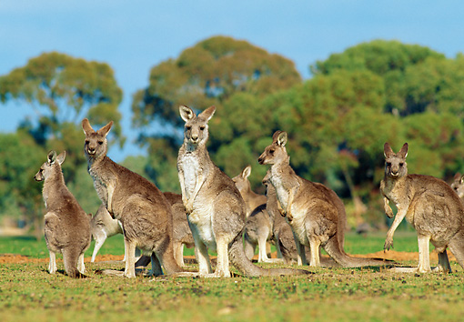 MAM 06 MH0006 01 © Kimball Stock Group Of Eastern Grey Kangaroos Standing On Grass