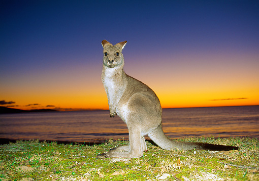 MAM 06 MH0008 01 © Kimball Stock Eastern Grey Kangaroo Standing On Beach At Sunrise
