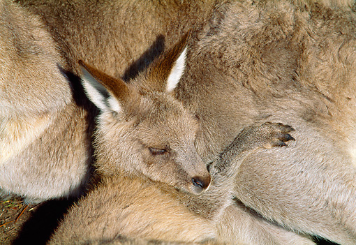 MAM 06 MH0010 01 © Kimball Stock Close-Up Of Young Eastern Grey Kangaroo Sleeping