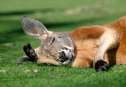 MAM 06 MH0013 01 © Kimball Stock Close-Up Of Red Kangaroo Sleeping On Grass