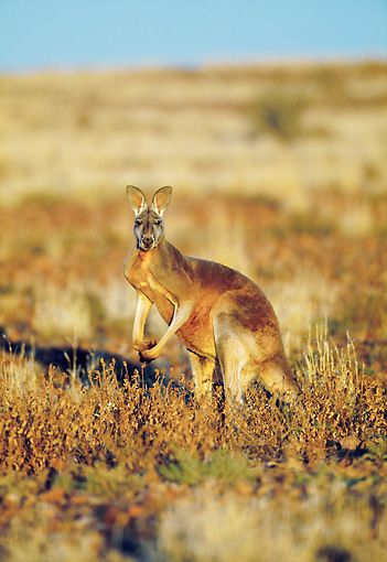 MAM 06 MH0020 01 © Kimball Stock Red Kangaroo Male Standing In Desert