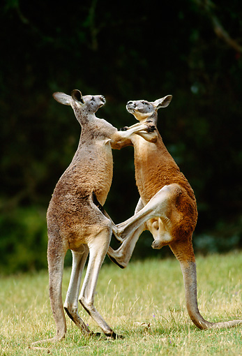 MAM 06 MH0023 01 © Kimball Stock Two Red Kangaroo Males Fighting On Grass