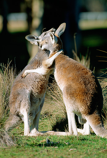 MAM 06 MH0024 01 © Kimball Stock Two Red Kangaroos Greeting Each Other On Grass
