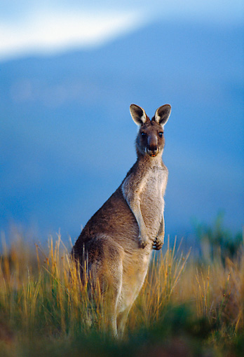 MAM 06 KH0003 01 © Kimball Stock Eastern Grey Kangaroo Standing In Field