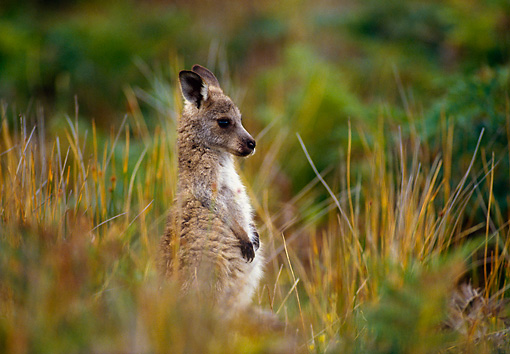 MAM 06 KH0004 01 © Kimball Stock Eastern Grey Kangaroo Joey Standing In Field