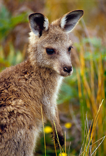 MAM 06 KH0005 01 © Kimball Stock Close-Up Of Eastern Grey Kangaroo Joey Standing In Field