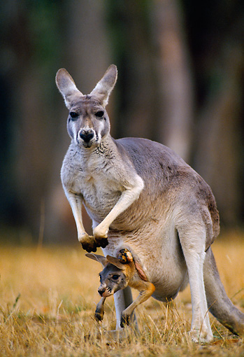 MAM 06 KH0007 01 © Kimball Stock Red Kangaroo With Joey In Pouch Standing In Field