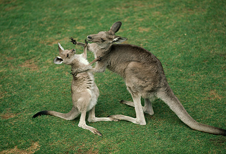 MAM 06 RK0001 04 © Kimball Stock Kangaroo Mother And Baby On Grass