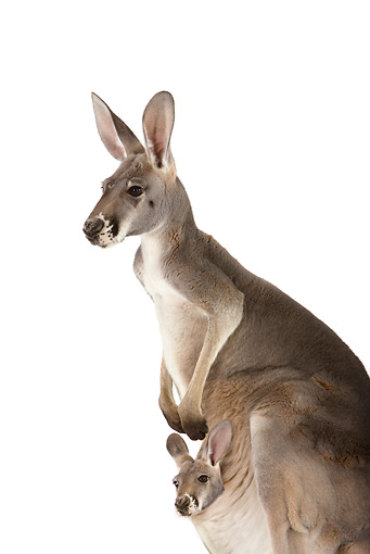 MAM 06 RK0010 01 © Kimball Stock Close-Up Of Red Kangaroo With Joey In Pouch On White Seamless