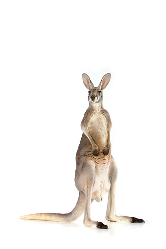 MAM 06 RK0013 01 © Kimball Stock Red Kangaroo Standing On White Seamless