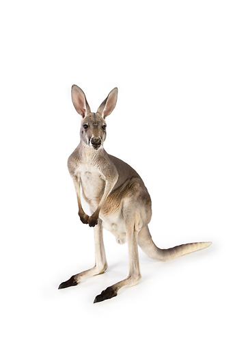 MAM 06 RK0014 01 © Kimball Stock Red Kangaroo Standing On White Seamless