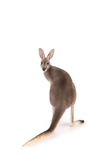 MAM 06 RK0016 01 © Kimball Stock Red Kangaroo Standing On White Seamless