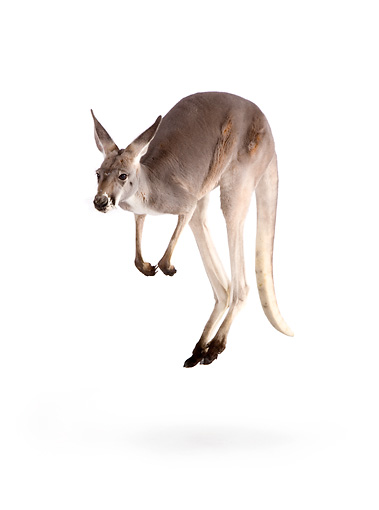 MAM 06 RK0017 01 © Kimball Stock Red Kangaroo Hopping On White Seamless