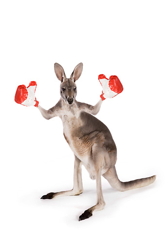 MAM 06 RK0024 01 © Kimball Stock Red Kangaroo Standing Wearing Boxing Gloves On White Seamless