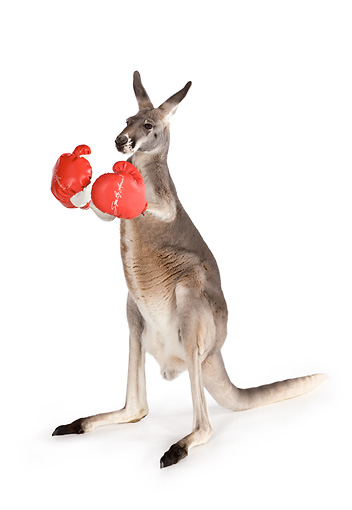 MAM 06 RK0025 01 © Kimball Stock Red Kangaroo Standing Wearing Boxing Gloves On White Seamless