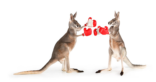 MAM 06 RK0026 01 © Kimball Stock Two Red Kangaroos Boxing On White Seamless
