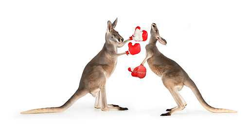 MAM 06 RK0027 01 © Kimball Stock Two Red Kangaroos Boxing On White Seamless