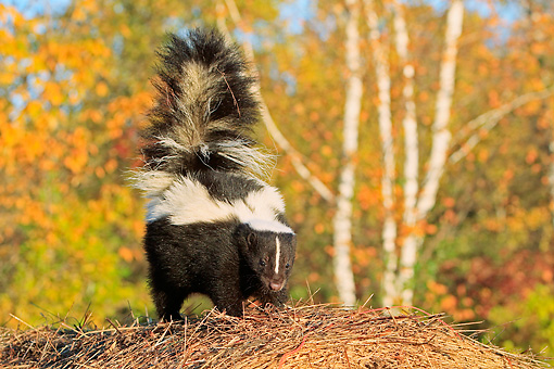 MAM 07 WF0001 01 © Kimball Stock Striped Skunk Standing By Autumn Trees