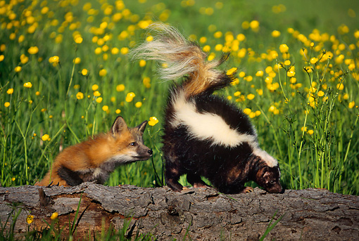MAM 07 SM0005 01 © Kimball Stock Striped Skunk Has Tail Raised At Curious Fox Pup On Log