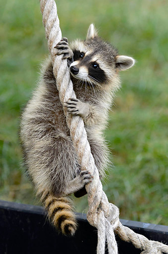 MAM 08 AC0002 01 © Kimball Stock Raccoon Hanging From Rope