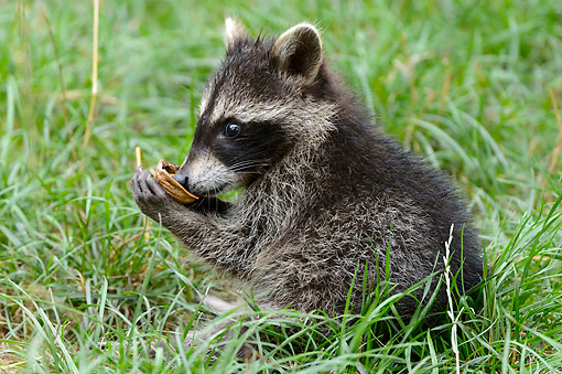 MAM 08 AC0003 01 © Kimball Stock Raccoon Eating Walnut