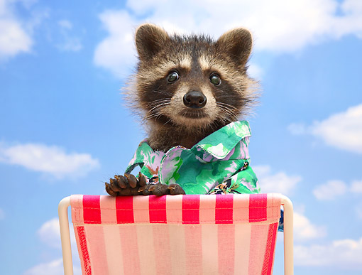 MAM 08 XA0001 01 © Kimball Stock Raccoon Sitting On Beach Chair And Wearing Hawaiian Shirt