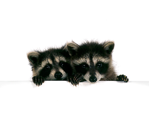 MAM 08 RS0006 05 © Kimball Stock Head Shot Of Two Raccoon Kits On White Seamless Studio